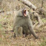 ספארי בסרנגטי קוף