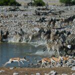 ספארי בטנזניה אנטילופות