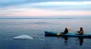Beluga_Kayak021