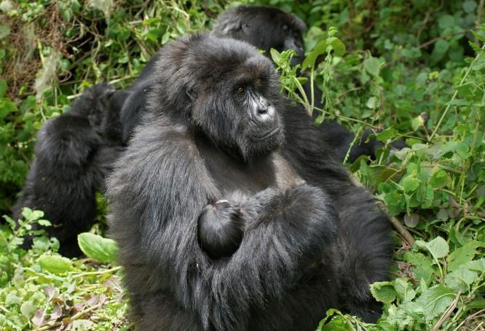 היא עדיין בחופשת לידה. טרק לגורילות ההרים באוגנדה ורואנדה