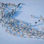 טיול פרטי צפון נורבגיה עדר